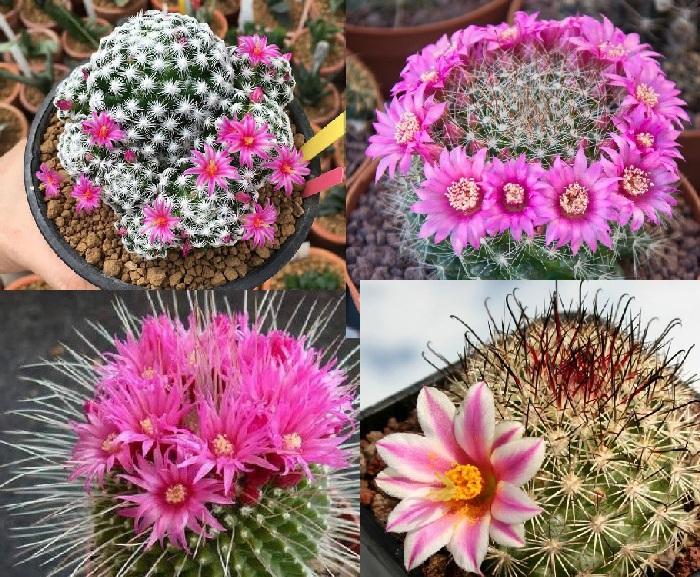 Прекрасные экземпляры цветущих кактусов