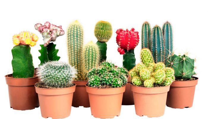 Разнообразные виды кактусов в горшках