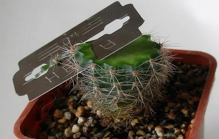 как обрезать кактус