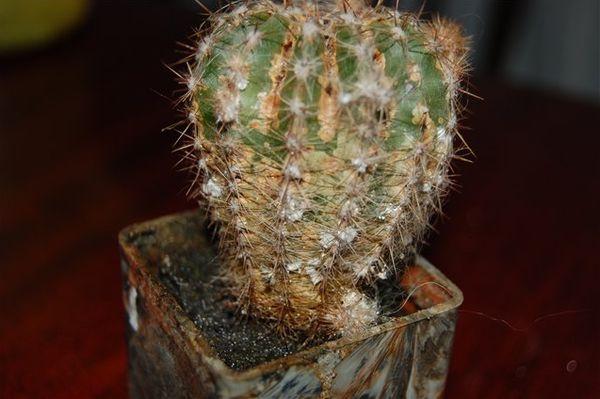 Загнивание кактуса