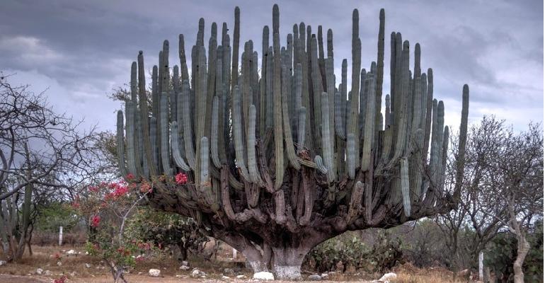 Растут ли кактусы