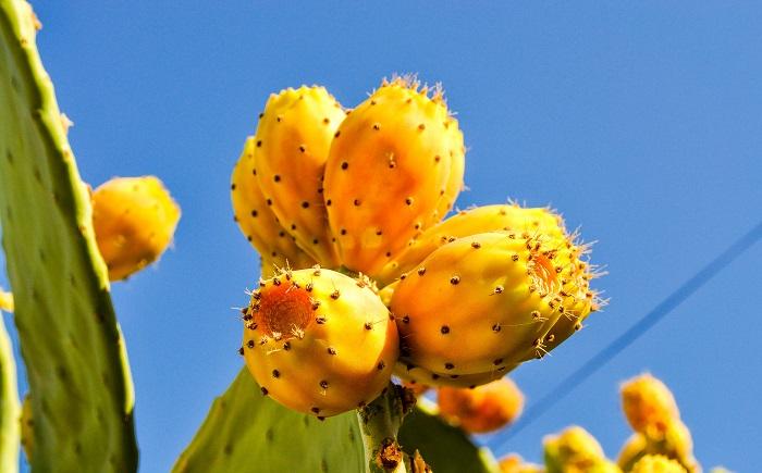 Плоды на кактусах