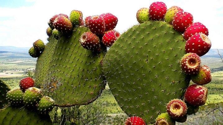 кактус с плодами